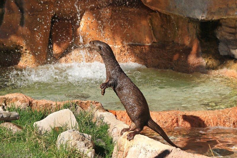 Ein neugieriger Otter stockfoto