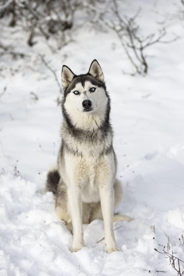 Ein neugieriger Schlittenhund, der im Schnee sitzt stockbilder