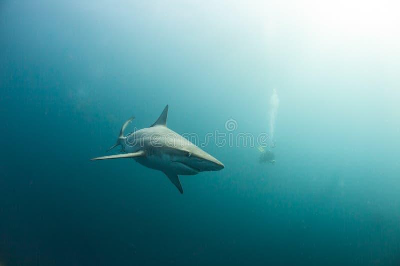 Ein neugieriger schwarzer Tipphaifisch in einem nebelhaften Ozean lizenzfreies stockfoto