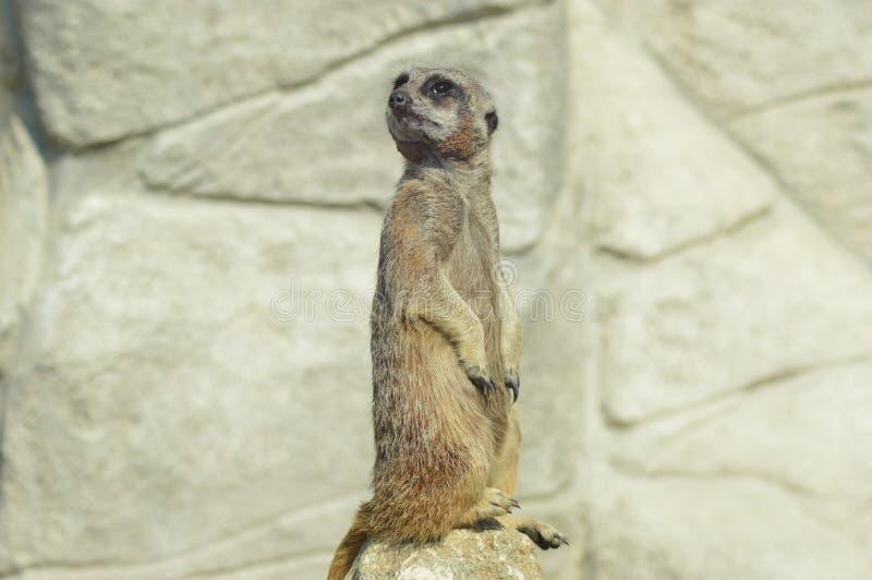 Ein neugieriges meerkat lizenzfreie stockfotos