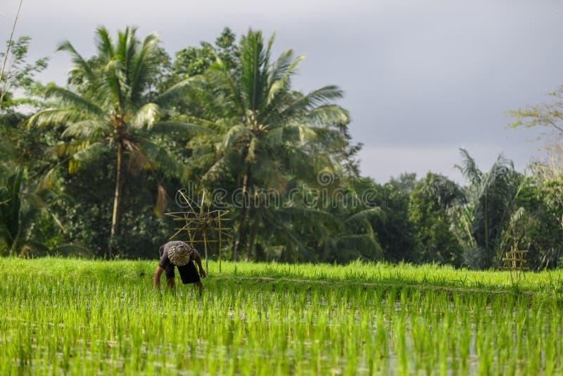 Ein nicht identifizierter Mann arbeitet in der Reisplantage Tegalalang-Reis Te stockbilder