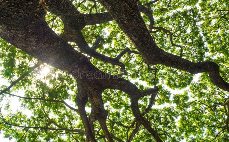Ein niedriger Standpunkt zu den Blättern des Regenbaums, oben schauend zu t stockfoto