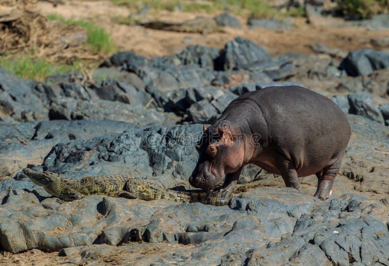 Ein Nilpferd, das ein Nil-Krokodil von seinem Weg schubst stockfotografie