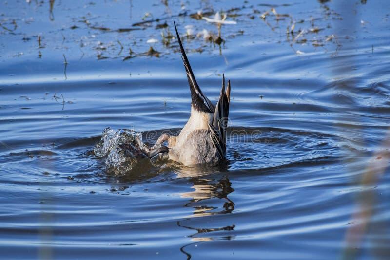 Ein Nordspießente withits Kopf unter Wasser lizenzfreie stockfotos