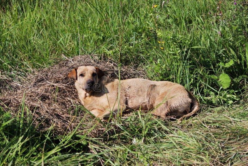 Ein obdachloser Hund der Beige liegt kompakt auf dem Gras stockfotos