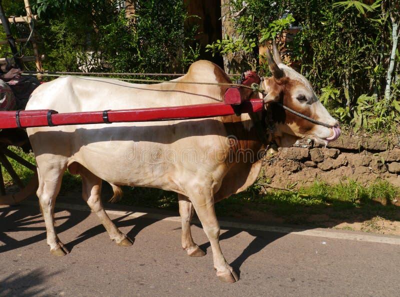 Ein Ochse, der einen Warenkorb in Sri Lanka zieht stockfotos