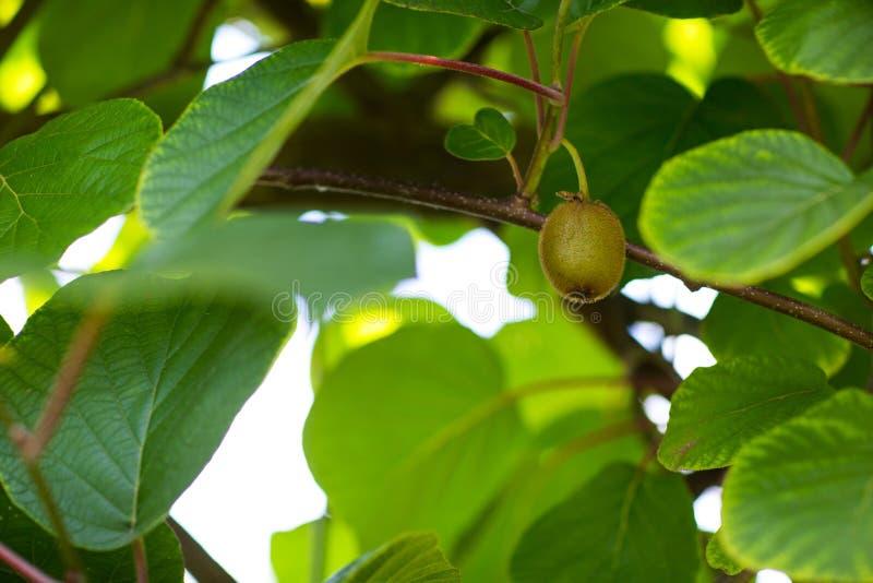 Ein organischer Baum mit süßer und reifer grüner Kiwi im Obstgarten Der schöne Obstbaum auf dem natürlichen Hintergrund Frisch un stockfotografie