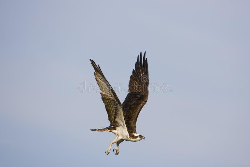 Ein Osprey im Flug lizenzfreie stockfotos