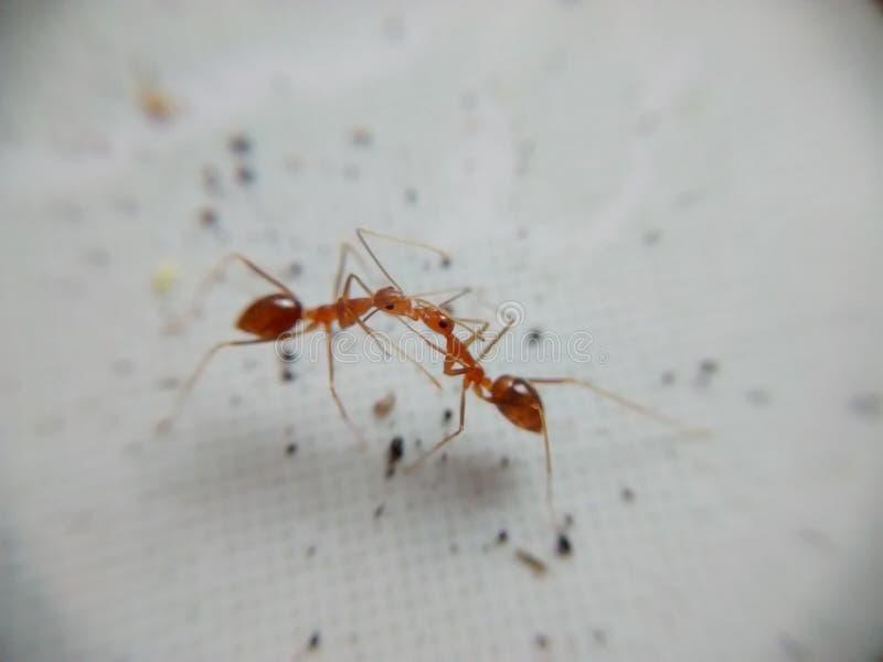 Ein paar Ameisen lizenzfreies stockfoto
