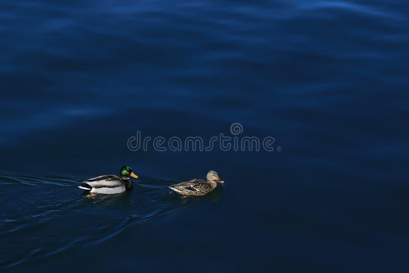 Ein Paar Anekdoten platyrhynchos frei, im eben aufgetauten Seewasser zu spielen stockbild