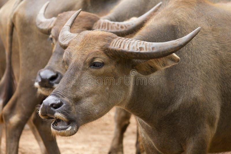 Ein paar asiatische Büffel stockfotos