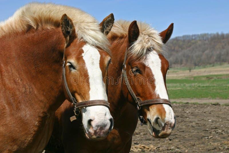Ein Paar belgische Entwurfspferde stockbild
