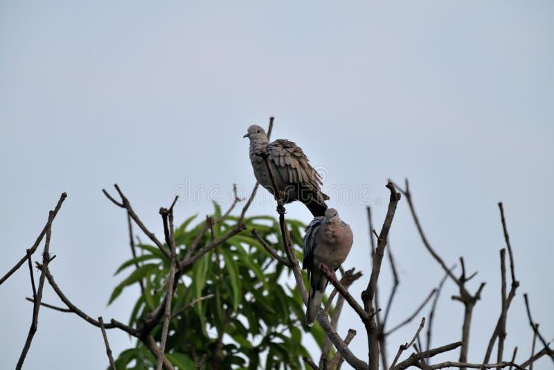 Ein Paar beschmutzte die Taube, die zum Putzen fertig wird stockbild