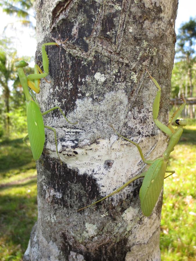 Ein Paar betende Mantises auf einem Baum stockfotos