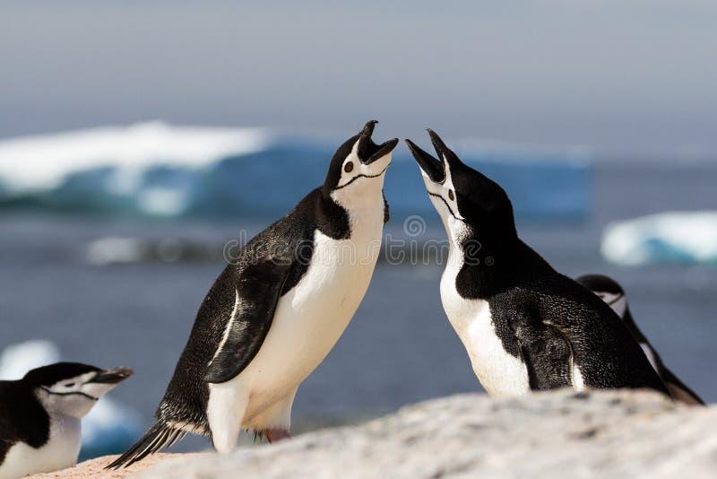 Ein Paar chinstrap Pinguine Pygoscelis antarcticus, das mit einer fügenden Anzeige, die Antarktis sich grüßt stockfotografie