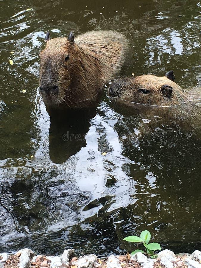 Ein paar clawless Otter lizenzfreie stockfotografie