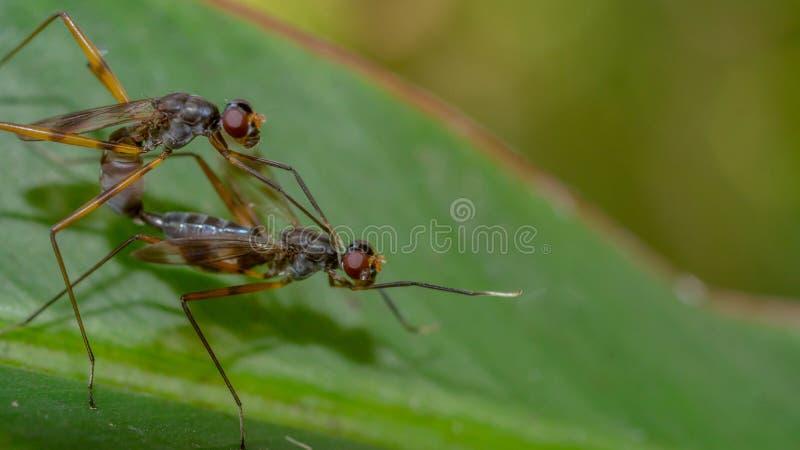 Ein Paar der Fliege Liebe auf einem grünen Blatt machend stockbild