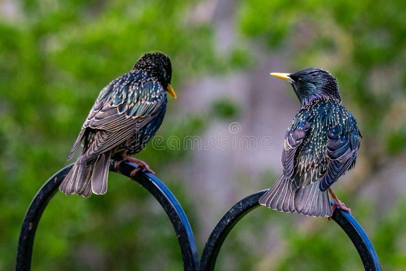 Ein Paar des gemeinen Schauens Stare Sturnus, als ob sie alle Sachennahrung besprechen, die während gehockt auf einem Gartenvogel stockfoto