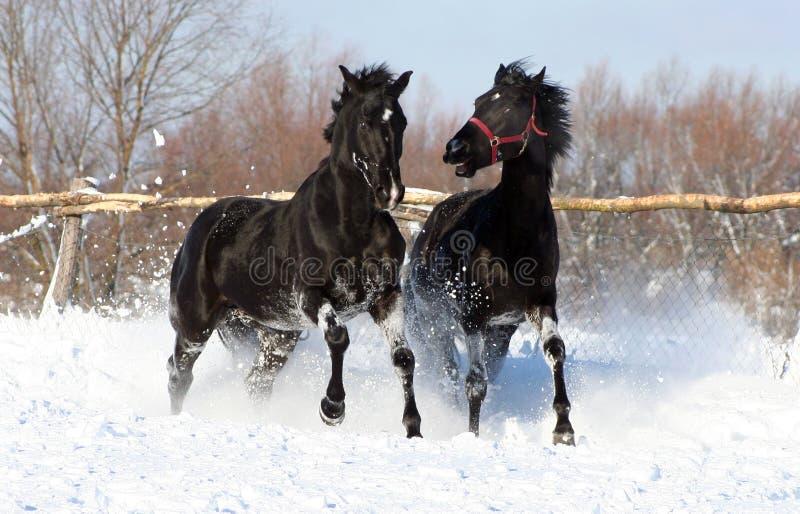 Ein Paar des schwarzen Stallion stockbilder