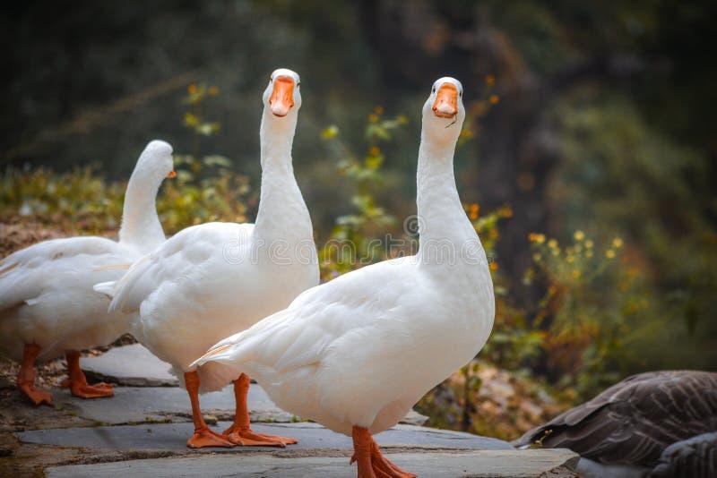 Ein paar Enten, die entlang Sie anstarren lizenzfreie stockbilder