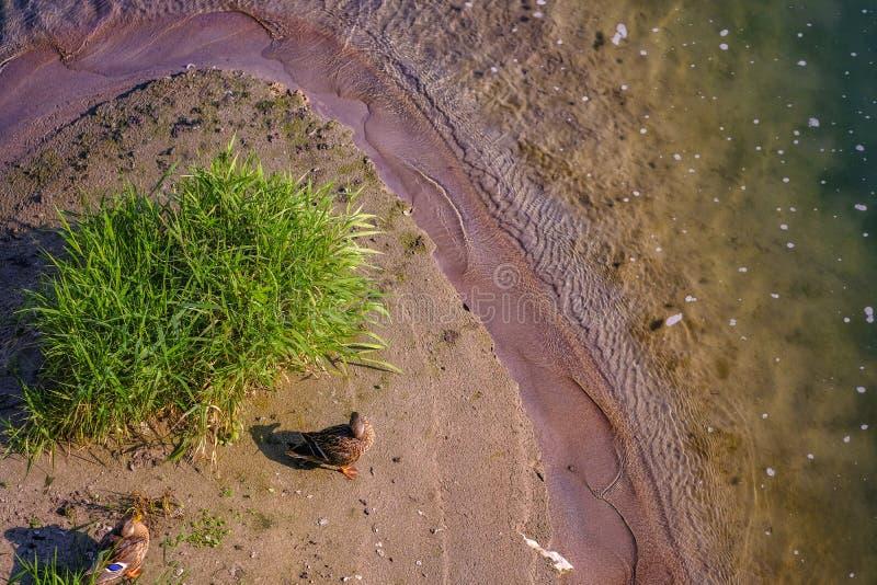 Ein Paar Enten in kleiner Insel stockfoto