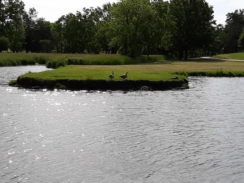 Ein Paar Gänse, die einen Spaziergang im Park machen lizenzfreie stockfotos