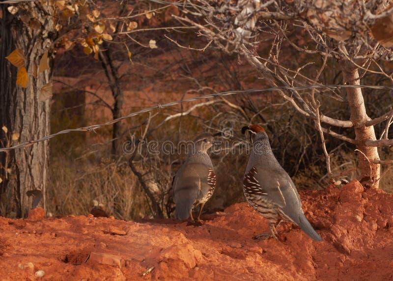 Ein Paar Gambels des Wachtelwegs unter den Drähten eines Stacheldrahtzauns angesichts eines Herbstmorgens stockfotografie
