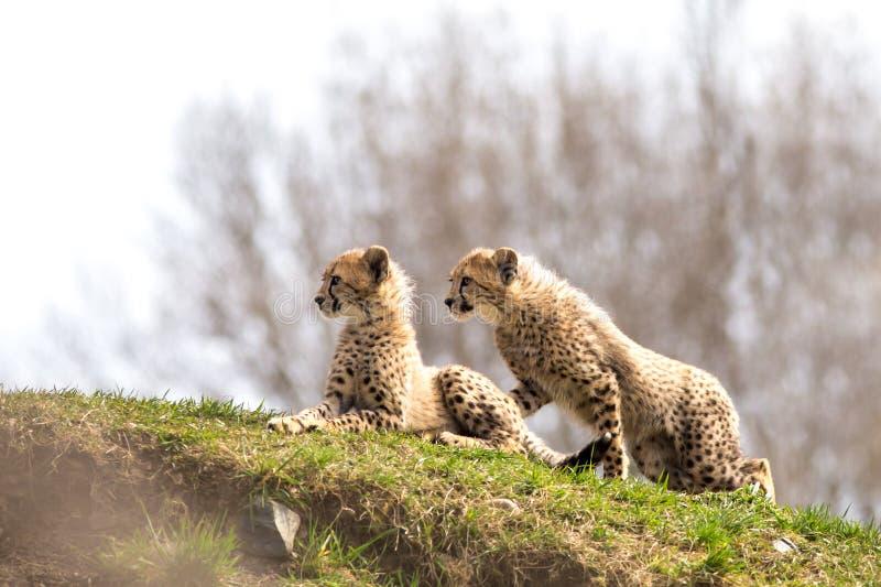 Ein Paar Gepardjunge stockbilder