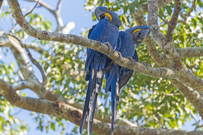 Ein Paar Hyacinth Macaws in einem Baum lizenzfreies stockbild