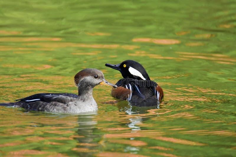 Ein Paar Kappensägerschwimmen im Teich lizenzfreie stockfotos