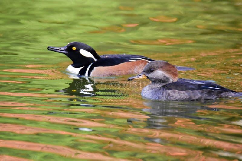 Ein Paar Kappensägerschwimmen im Teich lizenzfreies stockfoto