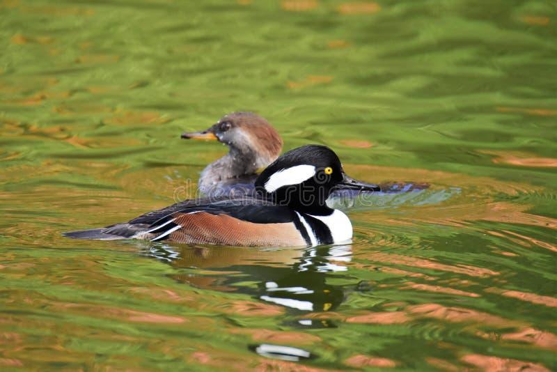 Ein Paar Kappensägerschwimmen im Teich lizenzfreie stockfotografie