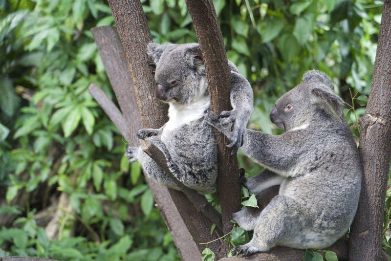 Ein Paar Koala hockte in einem Baum stockfotos