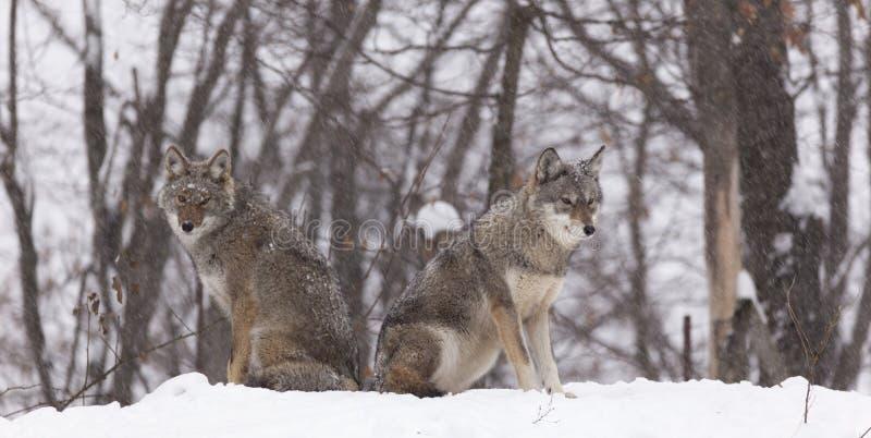 Ein Paar Kojoten in einem Wald stockfotos