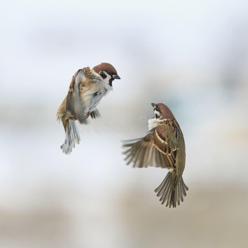 Ein Paar nette kleine Spatzenvögel fliegen in den Winterhimmel als Nächstes a lizenzfreies stockbild