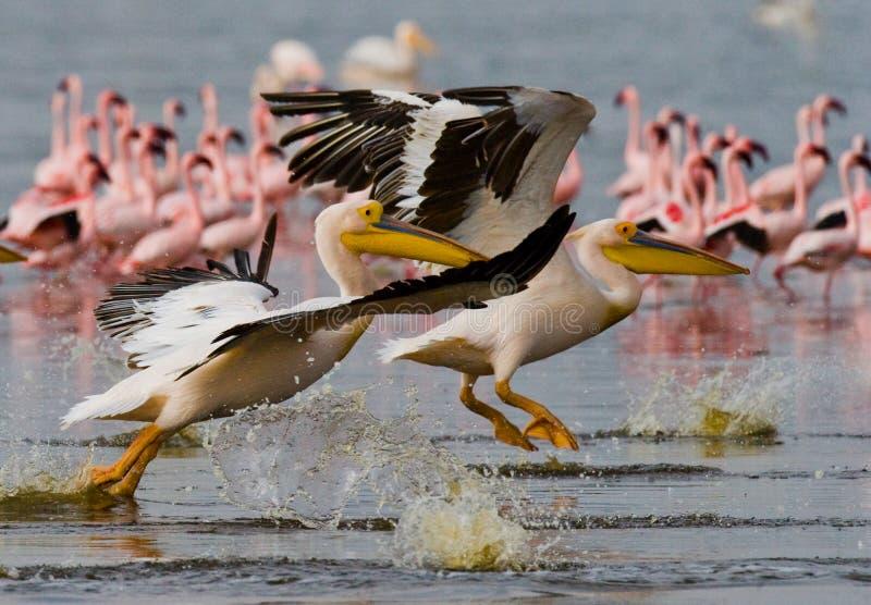 Ein Paar Pelikane, die über das Wasser fliegen See Nakuru kenia afrika stockfotografie