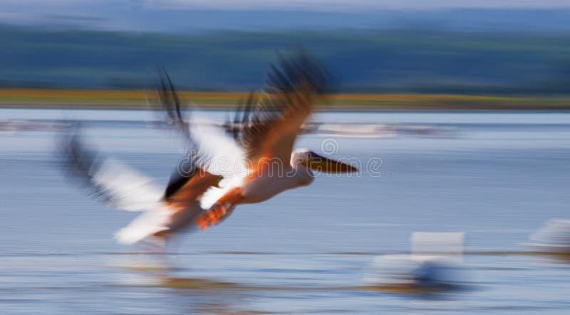 Ein Paar Pelikane, die über das Wasser fliegen See Nakuru kenia afrika lizenzfreie stockbilder