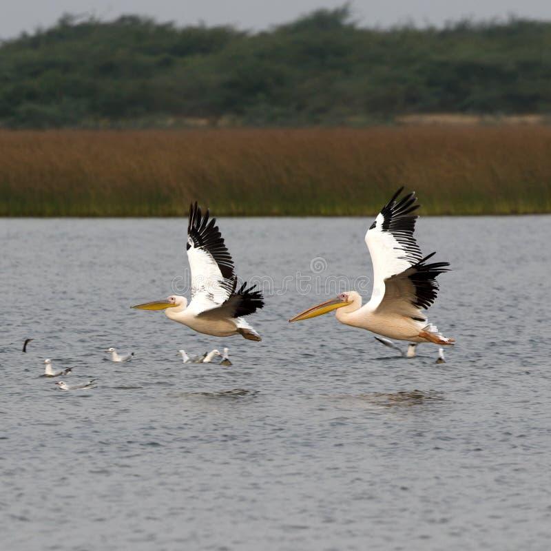 Ein Paar Pelikane im Flug lizenzfreies stockfoto