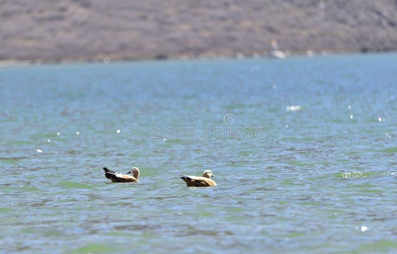 Ein Paar rötliche shelduck Schwimmen in den Hochebenenseen lizenzfreie stockfotografie