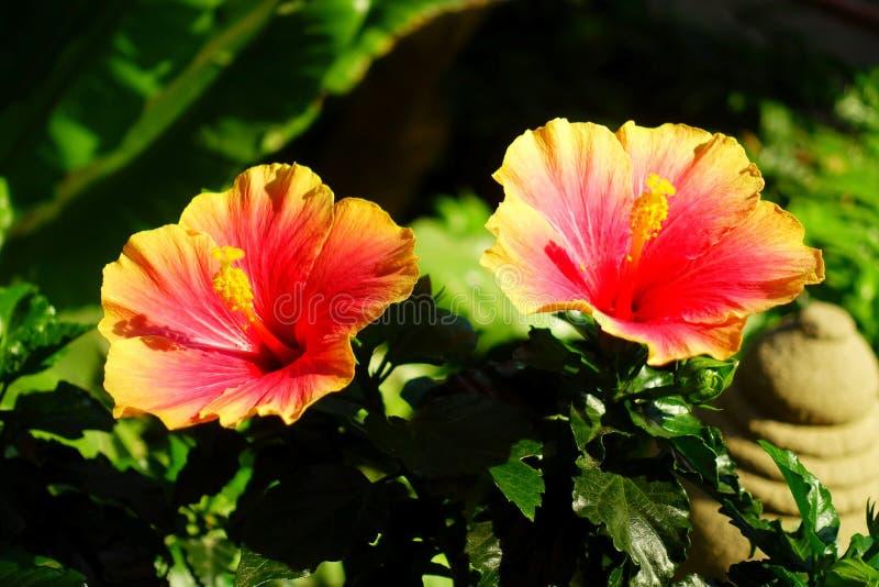 Ein Paar schöne gelbe und rote Hibiscuse blüht in voller Blüte lizenzfreie stockfotos