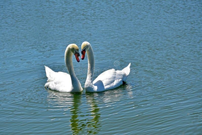 Ein Paar Schwäne auf dem Wasser Eine große und mannigfaltige Anzahl von Vögeln machen See Morton ein Haus lizenzfreies stockfoto