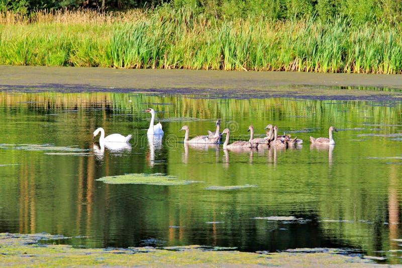 Ein Paar Schwäne begleitet ihr junges Ferment von grauen Kindern entlang dem See lizenzfreie stockfotografie