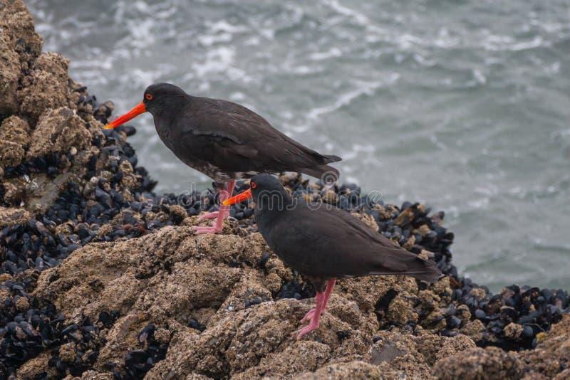 Ein Paar schwarze Austerfänger lizenzfreie stockfotografie