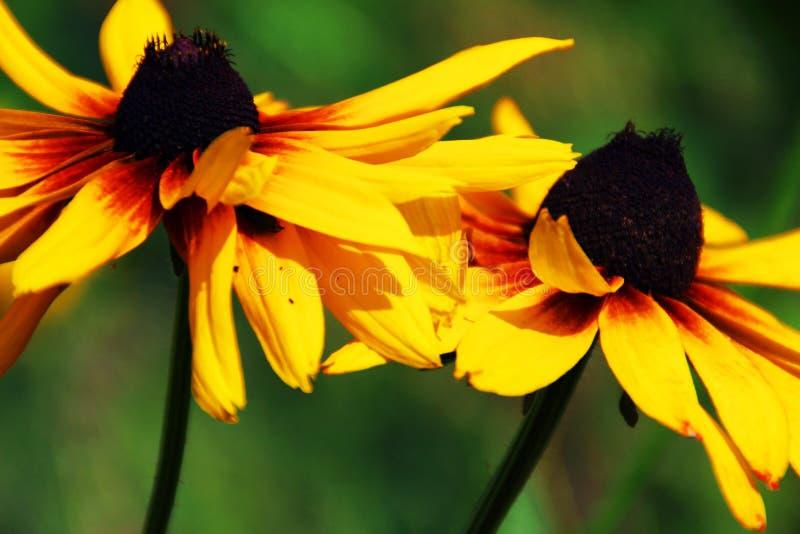 Ein paar schwarze gemusterte Susan-Blumen stockfotografie