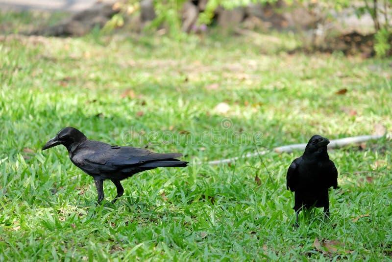 Ein paar schwarze Krähen, die auf der grünen Rasenfläche am Park mit warmem Licht stehen stockbilder