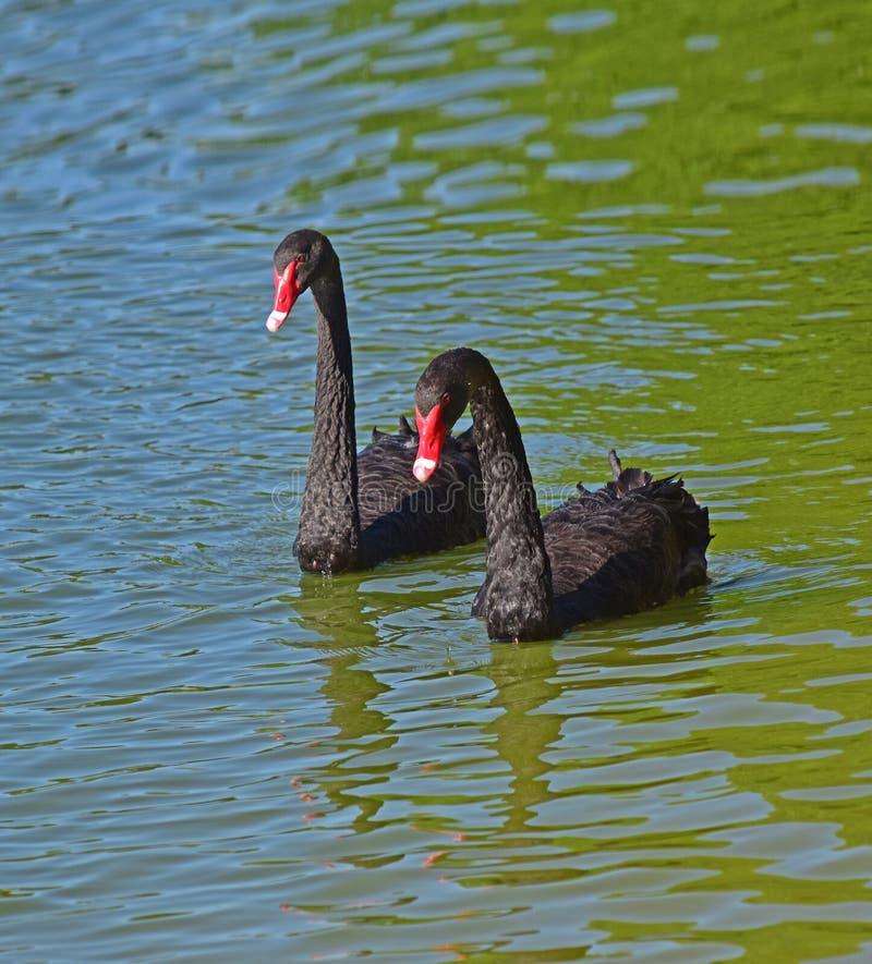 Ein Paar schwarze Schwäne auf dem See Eine große und mannigfaltige Anzahl von Vögeln machen See Morton ein Haus stockbilder