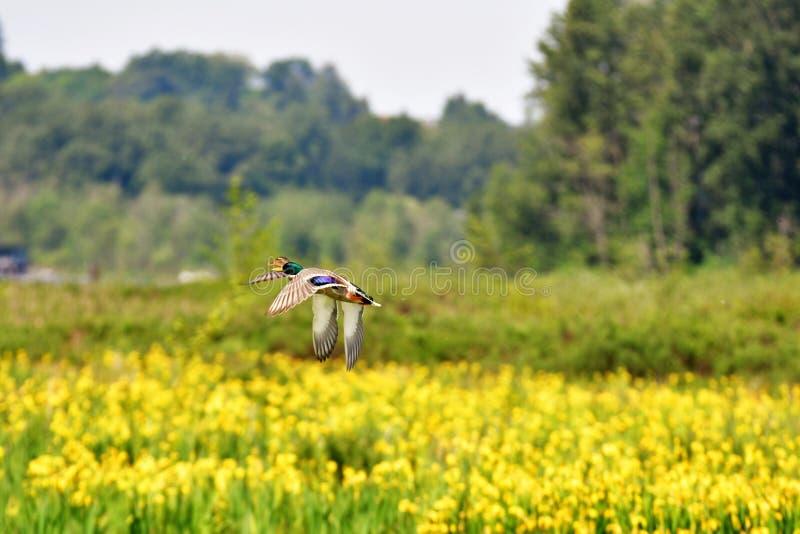 Ein Paar Stockenten fliegen über die gelbe Iris, die unten blüht stockfotografie