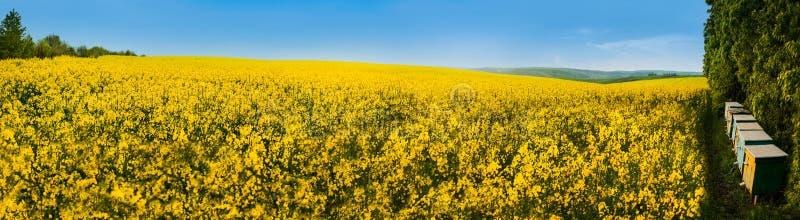 Ein Panoramablick eines Rapsfelds und der Biene lizenzfreies stockfoto