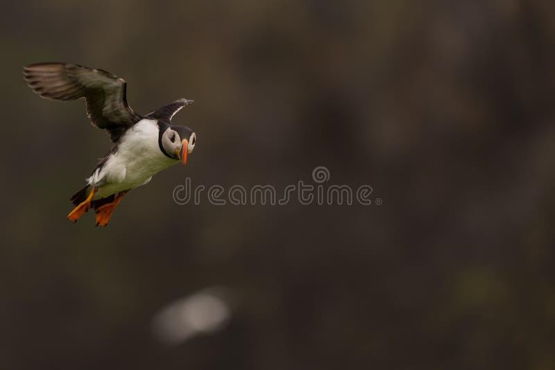 Ein Papageientaucher im Flug lizenzfreie stockfotos