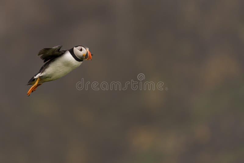 Ein Papageientaucher im Flug lizenzfreies stockfoto